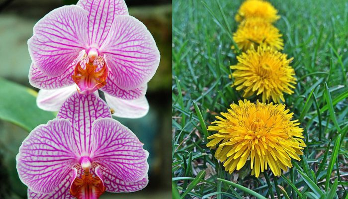 dandelion and orchid